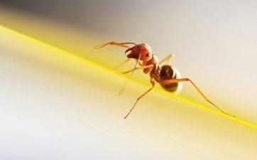 ants11