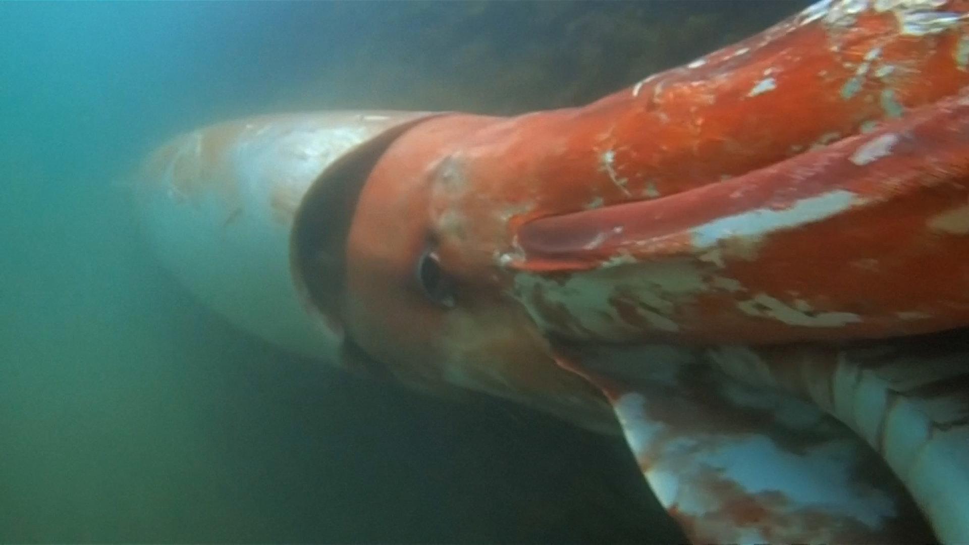 giant-squid-japan-superJumbo.jpg