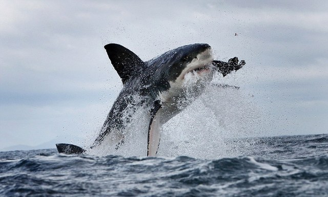 great white 1