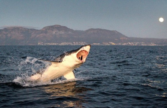 great white 4