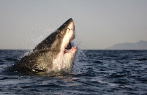 great white 5